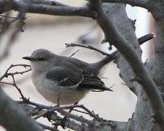 IMG_5197c (Care_SMC) Tags: oklahoma nature birds fpc