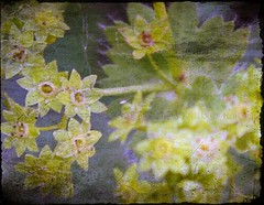 poesie (silviaON) Tags: winter summer flower macro texture nature june canon germany garden march europe close 2006 ixus 2008 textured frauenmantel blueribbonwinner imagepoetry masterphotos mywinners avision brilliant~eye~jewels
