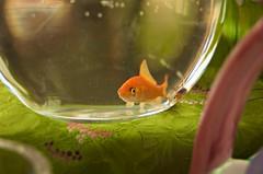 Nowruz Goldfish