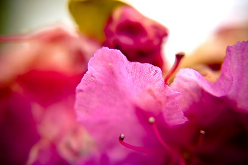 The Edge Of Beauty - a pink flower of indeterminate origin in Stayton Oregon