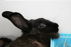 bunny: now with built in pillow (ildarabbit) Tags: pet black cute rabbit bunny furry soft adorable pillow dewlap blubook2 blubookvol2page91