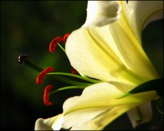 Lemon 'n' lime.. (Mary Trebilco) Tags: flowers lily pistil stamen handheld pollen lilium whitelily 12xzoom flowerotica flickrsbest canonpowershots3is theunforgettablepictures althoughitlooksquiteyellowinthatlight