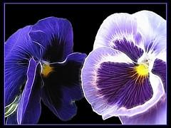 (scuba.manu) Tags: flower nature heart fabulous breathtaking onblack violas pianetaterra a fantasticflower fractalius artisticemotions