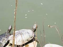 Turtles (ian.crowther) Tags: turtles basking brooklynbotanicalgarden