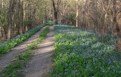 Bluebells along the C&O Canal towpath