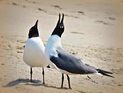 Beach Music (GooseGoddessS) Tags: music bird beach newjersey seagull gull duet sing capemay chior mineminemine paulinabos storybookwinner