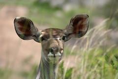 Female Kudu (jdkvirus) Tags: animals krugernationalpark wildanimals africanwildlife jdkvirus flickrsbestcreatures