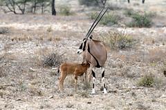 Beisa Oryx with calf, Samburu NP (brad.schram) Tags: kenya mammals samburu antelopes beisaoryx august2007 oryxbeisa