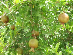 Immature pomegranate fruits