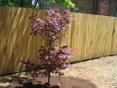 We planted a Japanese maple! (Anna @ D16) Tags: fence garden outside back japanesemaple myhouse fireglow