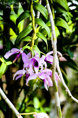 Wild orchids in Caramoan