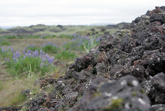 2008-07-05 (kren) Tags: flowers lava iceland moss tamron2875mm 400d