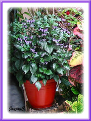 Potted Plectranthus 'Mona Lavender' (Lavender Spur Flower), in our garden - August 2006