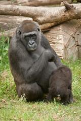 2011-05-29-10h52m51.272P2521 (A.J. Haverkamp) Tags: zoo gorilla arnhem thenetherlands burgerszoo dierentuin westernlowlandgorilla nimba westelijkelaaglandgorilla canonef100400mmf4556lisusmlens httpwwwburgerszoonl pobarnhemthenetherlands dob31011999 pobbarcelonaspain dob04112009 nakou