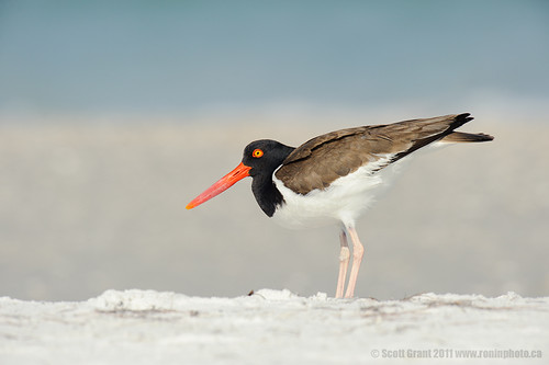 Female American Oystercatcher Ready to Copulate by Scott Grant
