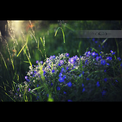 (geirkristiansen.net.) Tags: sunset flower nature grass zeiss t 50mm nikon 14 carl planar 1450 d700 zf2 planar5014zf