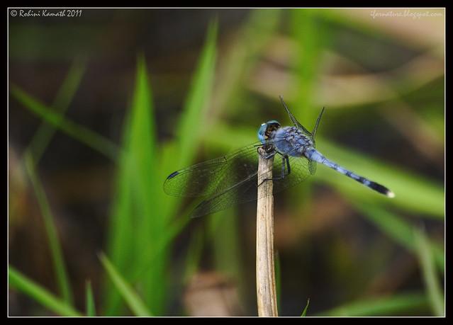 Blue_DrFly