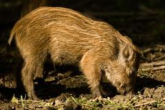 Piglets (KennethVerburg.nl) Tags: wild nederland natuur dieren boar wildzwijn flevoland lelystad natuurparklelystad zwijn natuurpark
