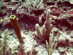 PICT0053 (JoseQ) Tags: coral mar belize caribe submarinismo