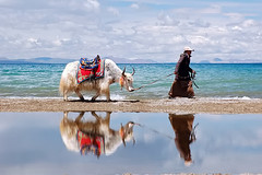 Yak Namtso Reflection (Michael Bollino) Tags: world travel yak lake reflection water asia searchthebest plateau altitude horns tibet sacred namtso impressedbeauty