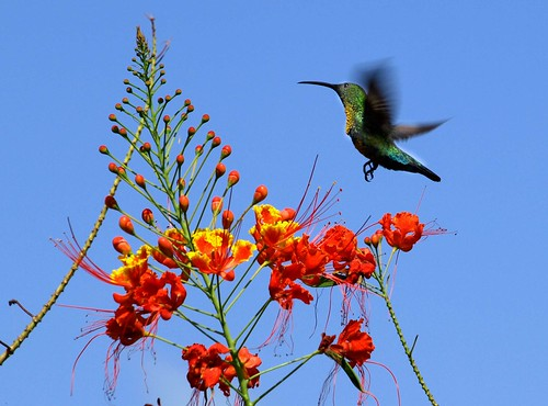 Dominica,Humming Bird