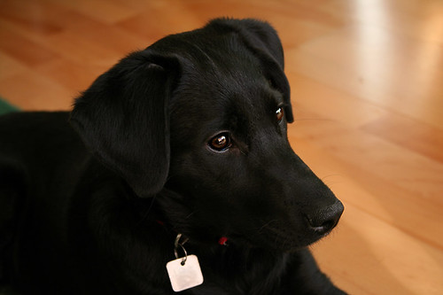 Tinna, a labrador beauty