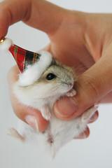 Merry Xmas (EricFlickr) Tags: christmas xmas pet pets cute animal animals taiwan hamster hammy