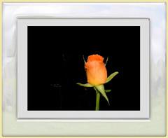 une rose pour maman, encadrée