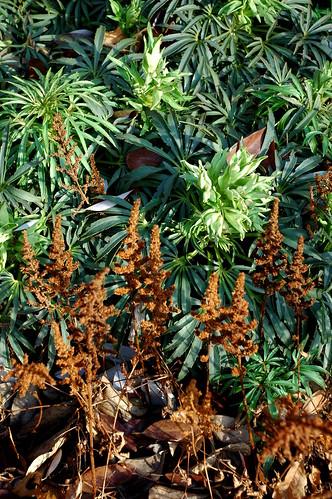 Athyrium nipponicum and Helleborus foetidus