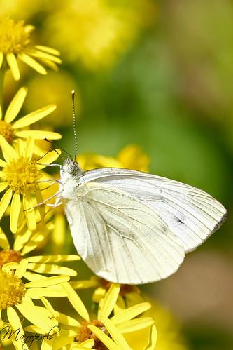Papillon pieride du chou