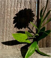 Plant Dreams (Lara's  Stuff) Tags: shadow plant flowershadow iloveshadows plantdreams