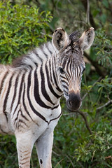 Young Zebra - Phinda Game Preserve (joe.langley) Tags: africa baby game nature canon southafrica wildlife safari zebra preserve gamedrive phinda ccafrica specanimal 40d animalkingdomelite mywinners abigfave