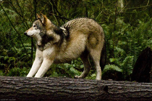 pretty wolf leans back stretches out animal photos