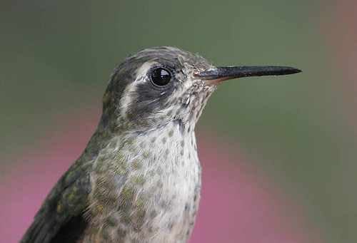 Speckled Hummingbird, portrait