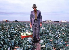 Man in Cabbage Field (ricko) Tags: deleteme5 deleteme8 man deleteme deleteme2 deleteme3 deleteme4 deleteme6 deleteme9 cars film deleteme7 field saveme4 saveme5 saveme box saveme2 saveme3 deleteme10 scan foundphoto cabbages 35mmslide coolsuit 1975dateonslide