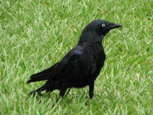 Torresian Crow by kabl1992.