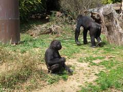 National Zoo - Gorilla (fkalltheway) Tags: washingtondc gorilla nationalzoo fkalltheway