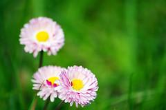corinne bailey rae:put your records on (visualpanic) Tags: pink flowers 3 flores green nature yellow garden abril jardin natura catalunya 2008 flors osona jardí focs viladrau
