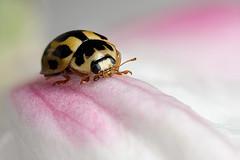 14 spot ladybird #3 (Lord V) Tags: macro bug insect diamondclassphotographer ahqmacro