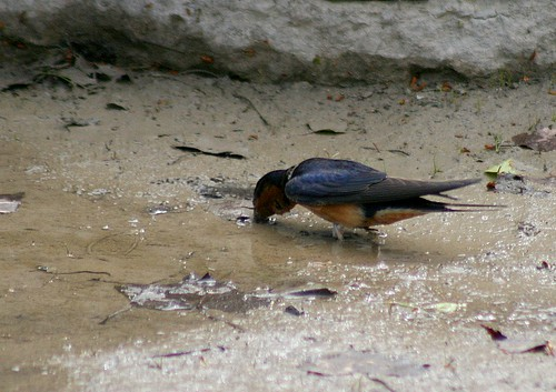 Barn Swallow collecting mud