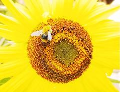 Happy Bumblebee (KLMP) Tags: bumblebee sunflower kansas summer yellow