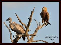 WHITE-BACKED VULTURE (Pseudogyps africanus) WITH TAWNY EAGLE (Aquila verreauxii),,,,,,MASAI MARA......SEPT 2016 (M Z Malik) Tags: nikon d3x 200400mm14afs kenya africa safari wildlife masaimara keekoroklodge exoticafricanwildlife exoticafricanbirds ngc