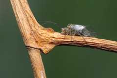 (Rundstedt B. Rovillos) Tags: insect insecta insekto insekten insekt insecte nikond300 nikkor1855mm nikonsb400 reverselensadapter reverselens reverselensmacroshoot onehandmacroshootmethod macro macrophotography diykfcflashdiffuser diyflashdiffuser kfcdiffuser kfcflashdiffuser straightoutofcamera sooc rundstedtbrovillos