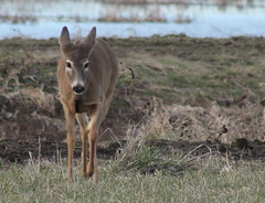 IMG_3103 Columbian white-tailed deer - Odocoileus virginianus leucurus (Jon. D. Anderson) Tags: ridgefieldnwr deer whitetaileddeer columbianwhitetaileddeer odocoileusvirginianus odocoileusvirginianusleucurus endangeredspecies threatenedspecies