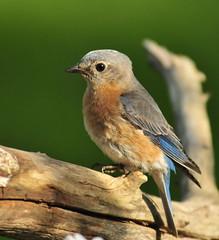Bluebird (f) (bunnhillphoto) Tags: goldstar blueribbonwinner cherryontop mywinners platinumphoto anawesomeshot perfectphotographer dragongold vosplusbellesphotos lizasenchantedgarden