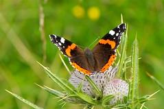 Vanessa atalanta su Cardo alpino 2 (paolo-55) Tags: macro butterfly nikon natura farfalla d300 vanessaatalanta 105mmvrmicronikkor cardoalpino