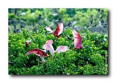 Bầy Chim Trốn Tuyết (HoangHuyManh images) Tags: travel birds texas mygearandme mygearandmepremium hoanghuymanhimages ringexcellence level1photographyforrecreation level2photographyforrecreation qualifiedmemberonlylevel2 roseatespoolbil