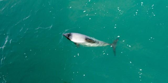Hector's Dolphin, Akaroa, Black Cat Cruises, New Zealand