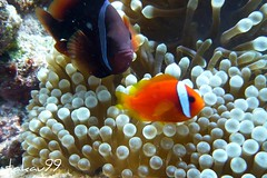 Black and Orange Anemonefish