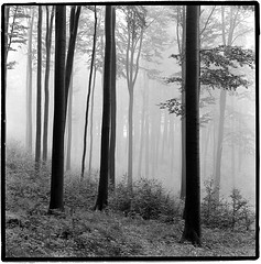 Autumn is here II (Stefan K0n@th) Tags: autumn bw 6x6 film fog darkroom forest square kodak hasselblad till expired rodinal150 plusx weserbergland beeches carlzeiss 501cm homburg splanar 56120t